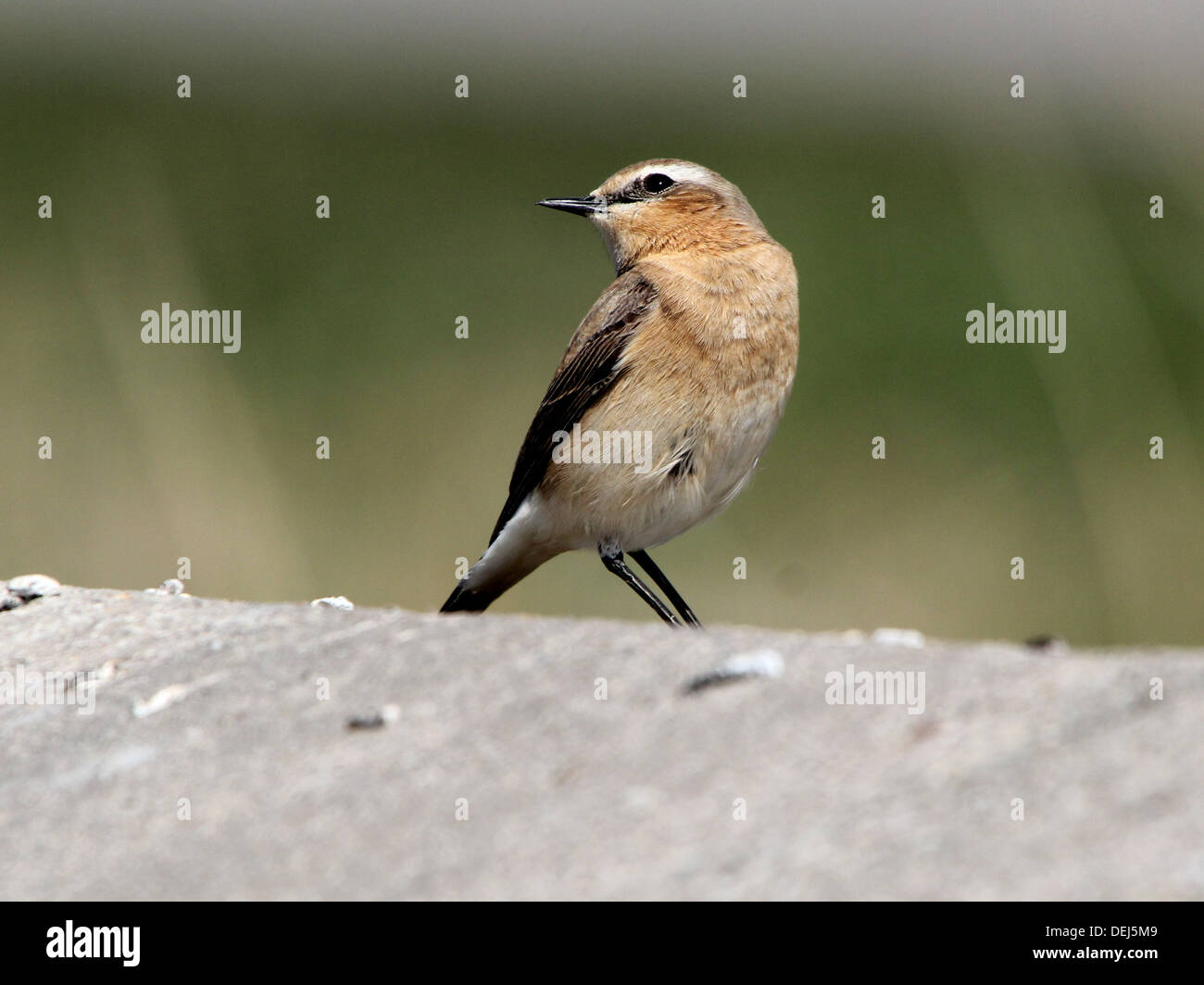 Female Northern Wheatear (Oenanthe Oenanthe) Stock Photo