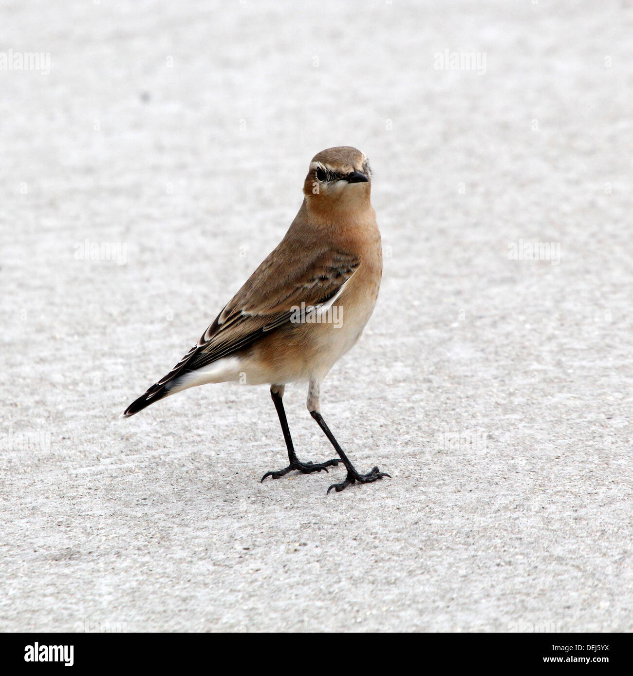 Female Northern Wheatear (Oenanthe Oenanthe) posing on the pavement Stock Photo