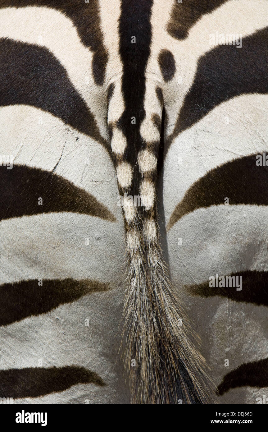 A zebra´s rear, Ngorongoro Crater, Ngorongoro Conservation Area, Tanzania - Stock Image