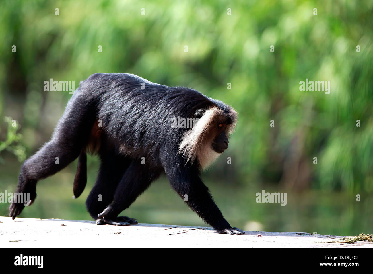 Lion-tailed macaque,Monkey,Animal in the wild,Mammal,Animal,Delhi National park,India Stock Photo