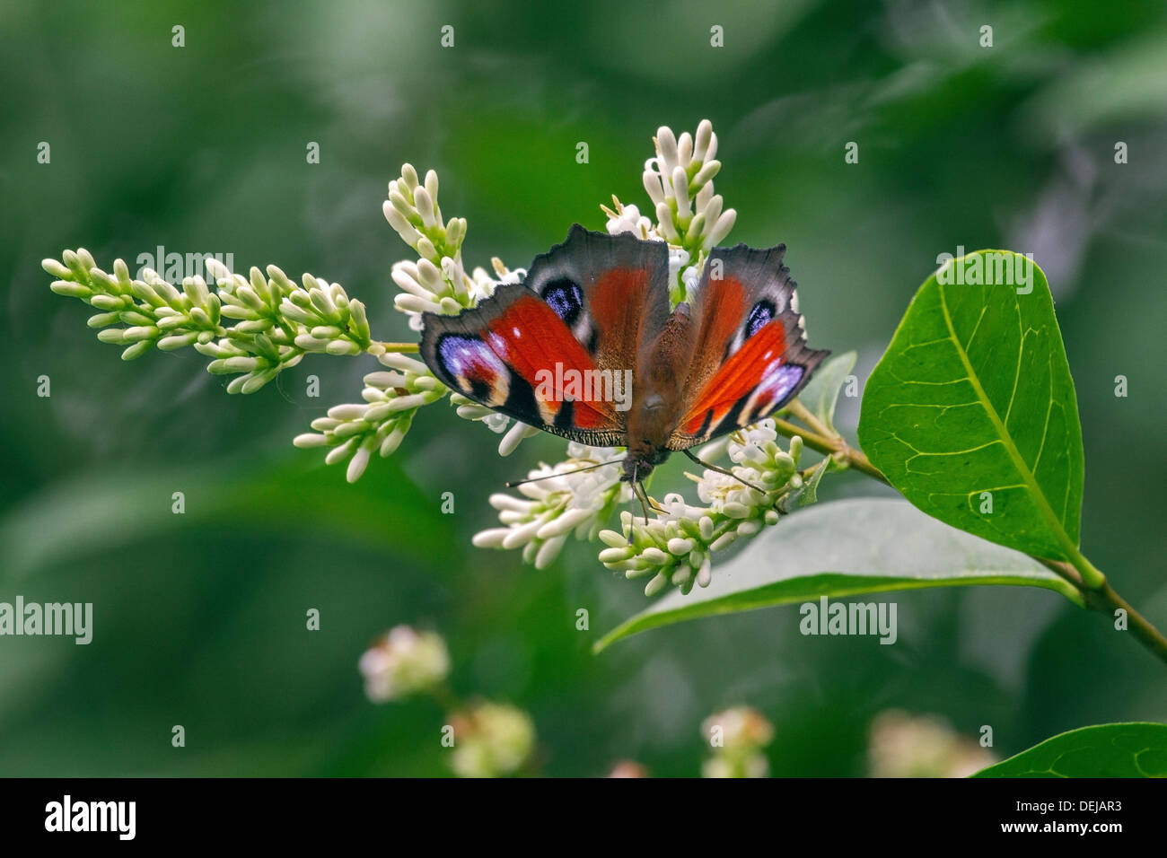 European Peacock butterfly (Aglais io / Inachis io) on privet flowers Stock Photo