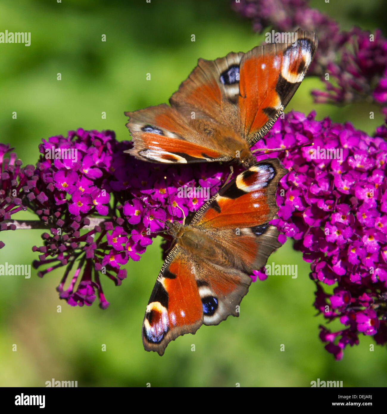 Two European Peacock butterflies (Aglais io / Inachis io) on summer lilac flowers / butterfly-bush (Buddleja davidii) - Stock Image