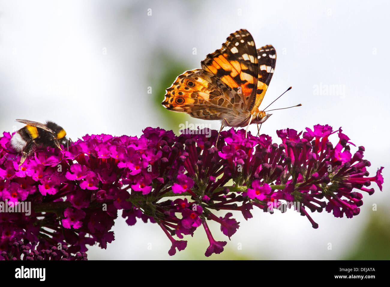 Painted Lady butterfly (Vanessa cardui) and buff-tailed / large earth bumblebee (Bombus terrestris) pollinating lilac flowers - Stock Image