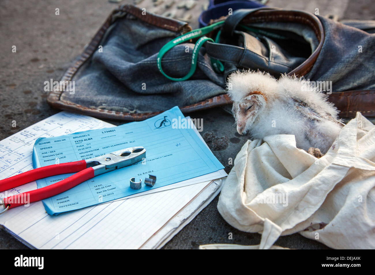 Bird ringer's notebook, pair of pincers and metal rings for ringing Barn owl (Tyto alba) owlet / chick - Stock Image