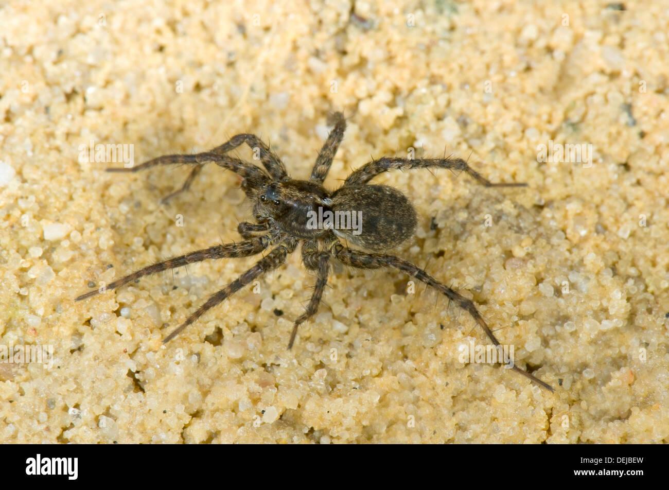 A wolf spider, Pardosa amentata, - Stock Image