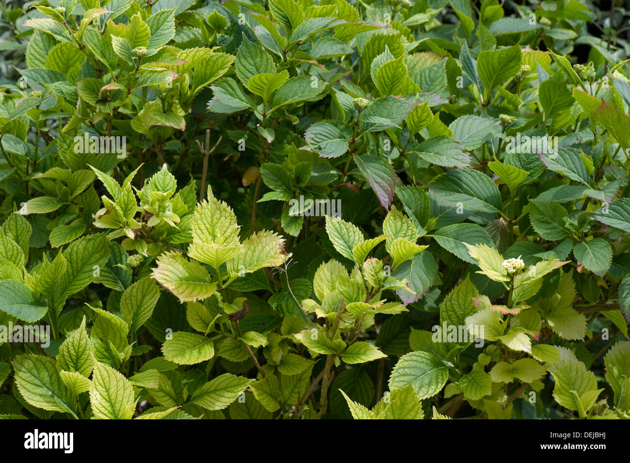 Lime induced iron and nitrogen deficiency causing chlorosis of the leaves of a Hydrangea macrophylla garden shrub - Stock Image