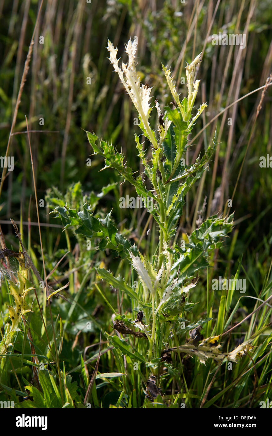 Creeping thistle, Cirsium arvense, leaves bleached by Phoma macrostoma with potential use as a bioherbicide - Stock Image