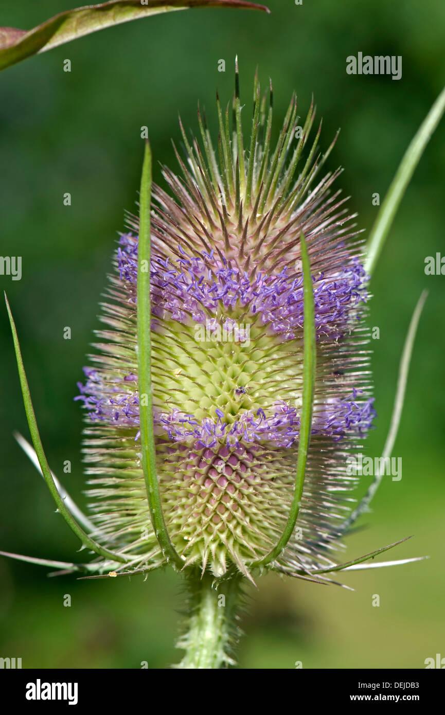 Teasel, Dipsacus fullonum, flowers - Stock Image