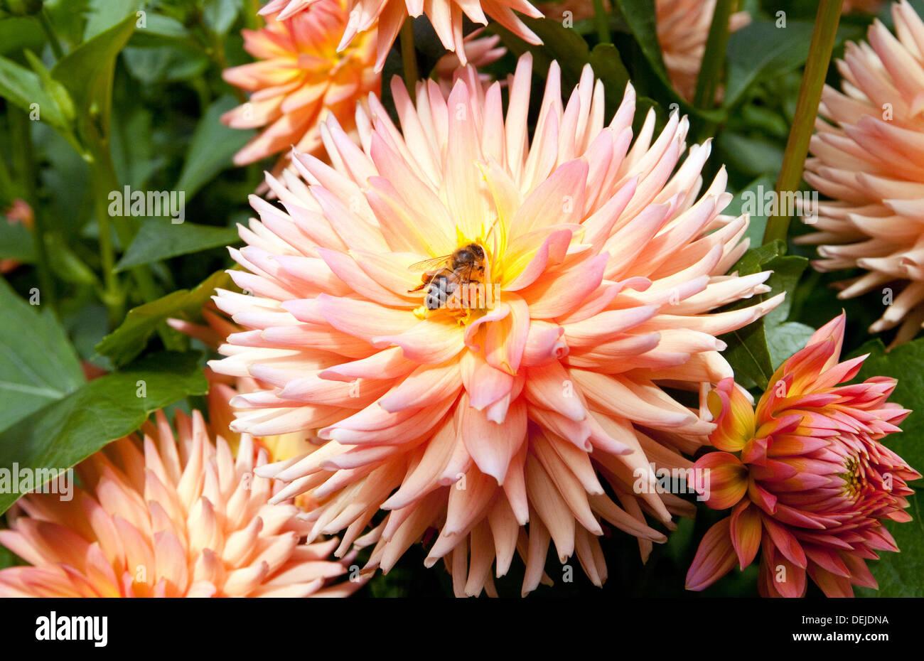 Honey Bee on dahlia flower, Cambridgeshire, UK - Stock Image