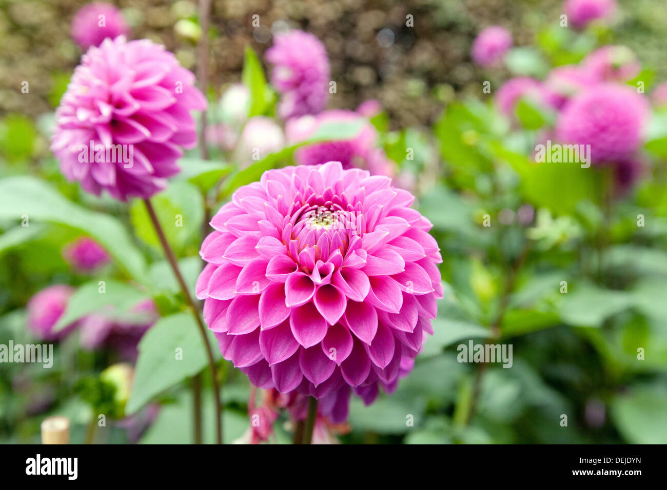 Purple dahlias flowers stock photos purple dahlias flowers stock dahlia dahlias flowers variety marys jomanda cambridgeshire uk stock image izmirmasajfo