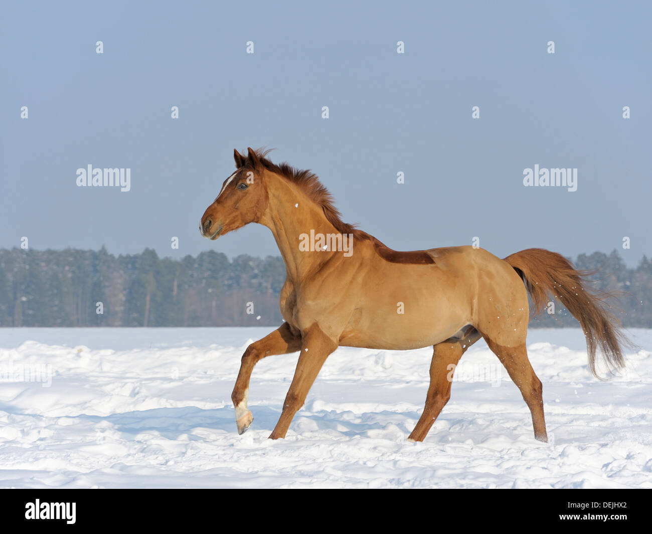 Cliped Trakehner horse galloping in winter Stock Photo