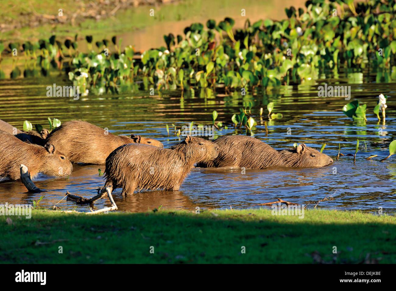 Brazil, Pantanal: Family of Capybaras (Hydrochoerus hydrochaeris) entering in the water - Stock Image