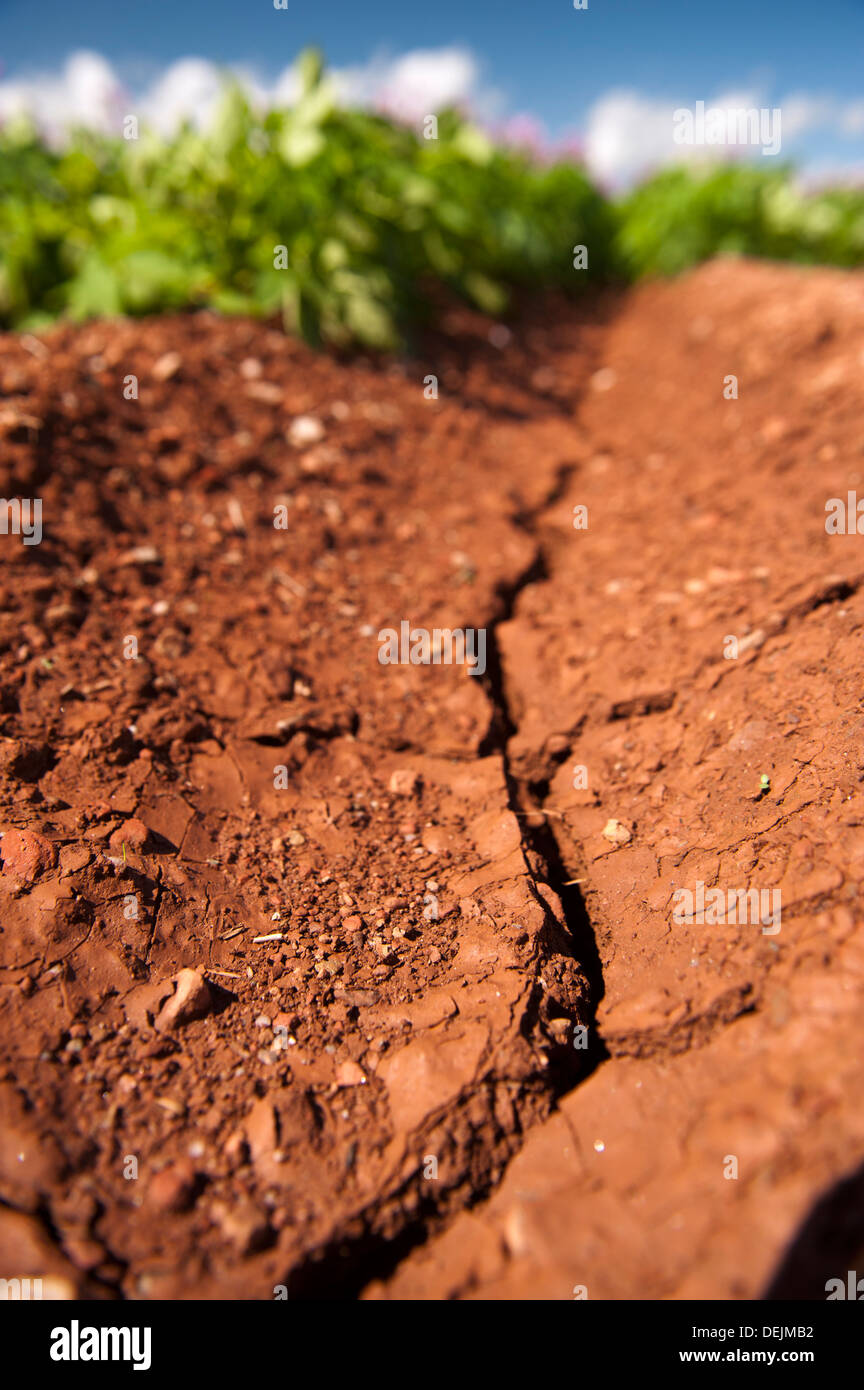 Cracks in the soil due to dry weather in a potato crop, Aberdeen. - Stock Image