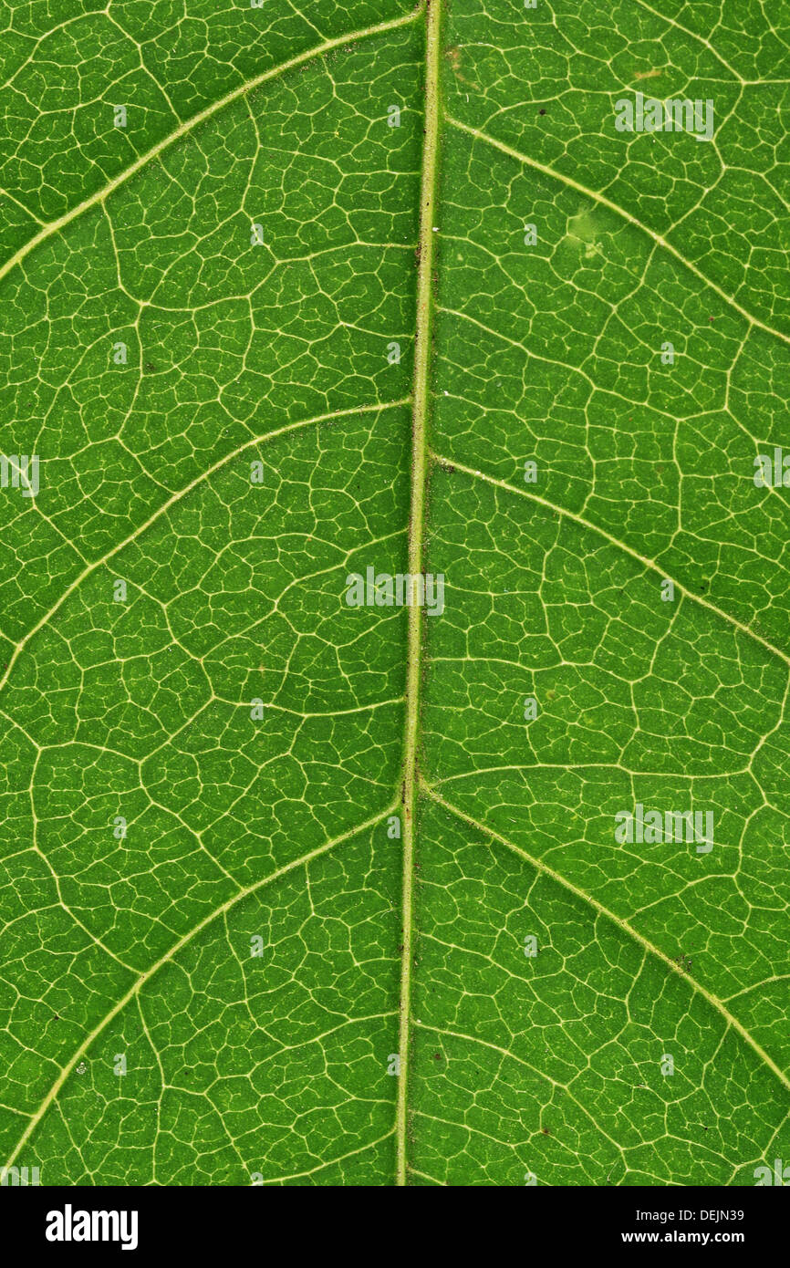 An extreme close up image of a leaf's vascular system Stock Photo