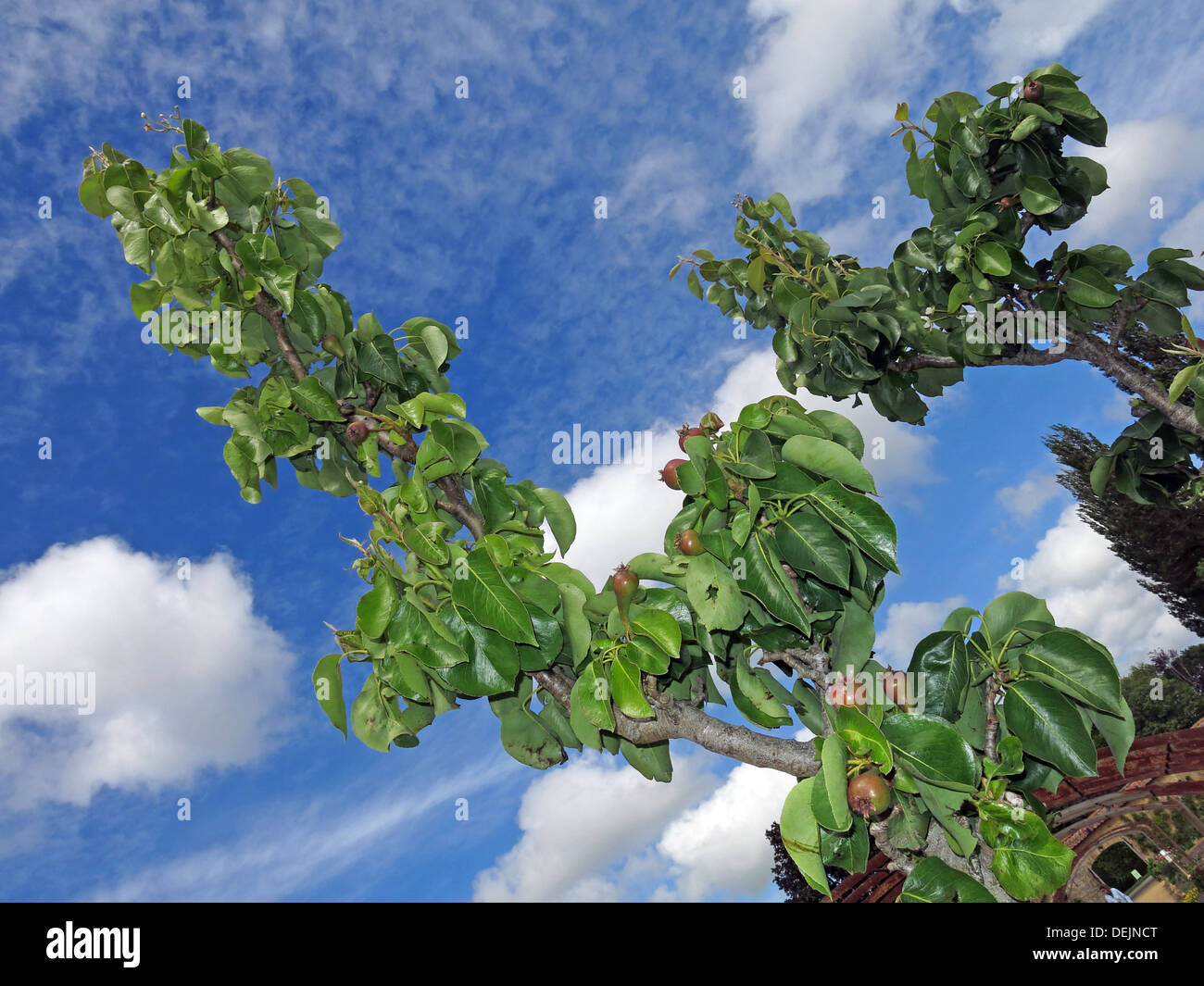 New summer pears growing on a mature tree at Barrington Ct near Ilminster, Somerset, England UK  TA19 0NQ in an orchard - Stock Image