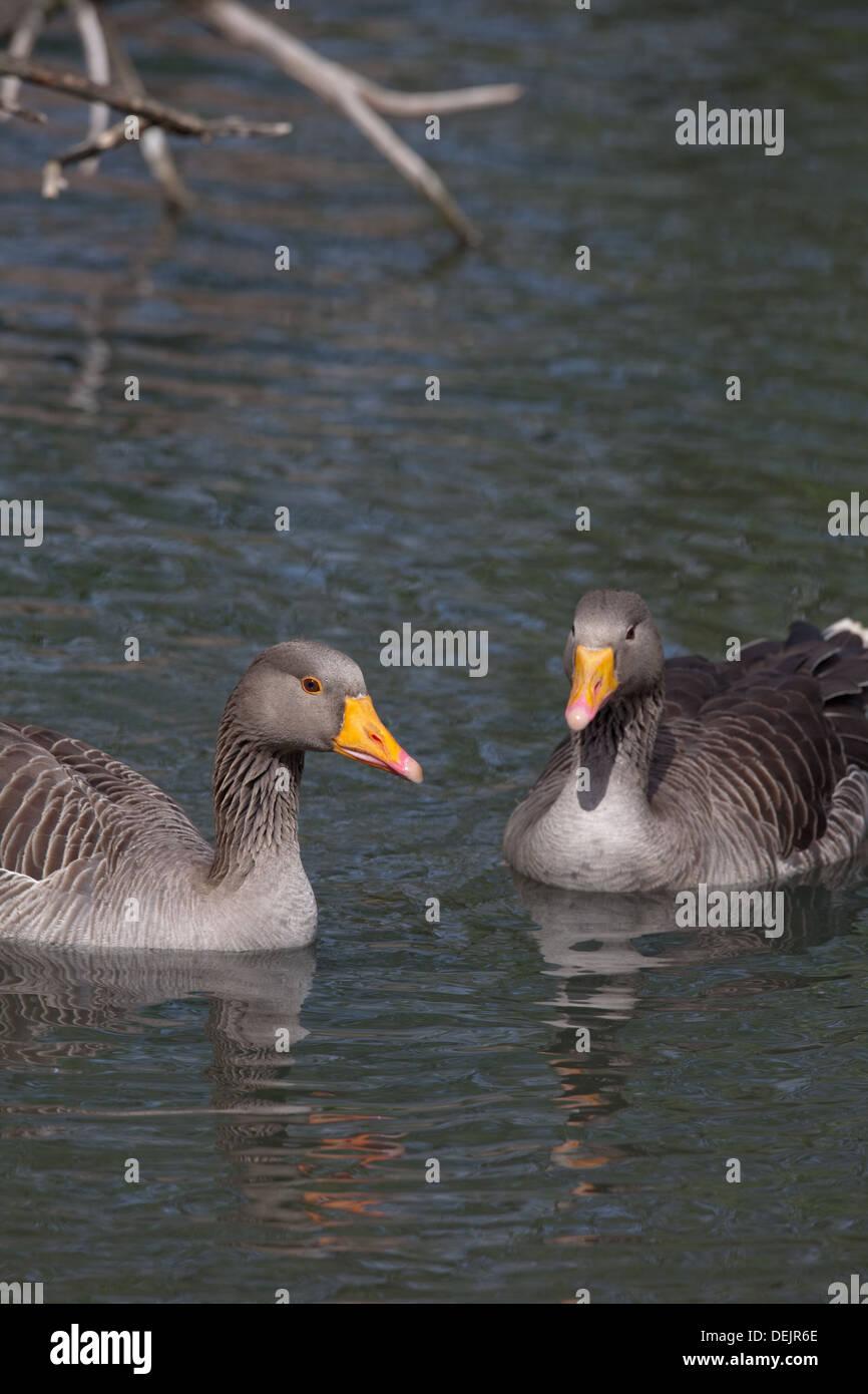 Western Greylag Goose (Anser anser). Norfolk Broads. East Anglia. England. - Stock Image