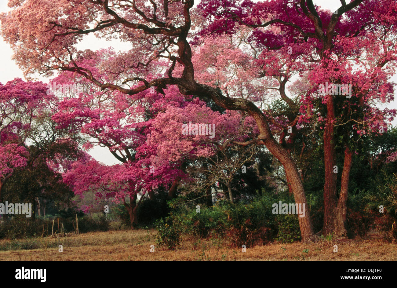 Pink trumpet trees in flower dry pasture with trees type of stock pink trumpet trees in flower dry pasture with trees type of landscape like savannah or park pantanal near pocone mato mightylinksfo