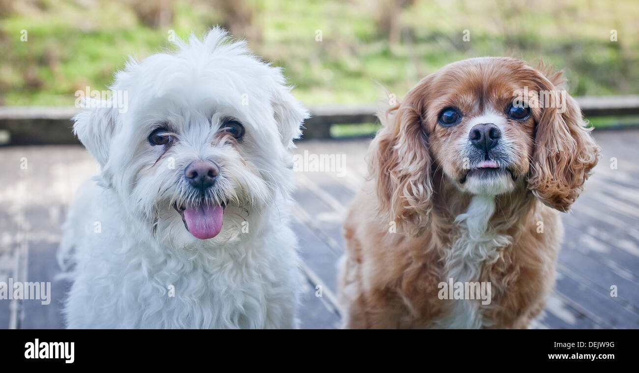 Two small dogs looking at the camera - Stock Image