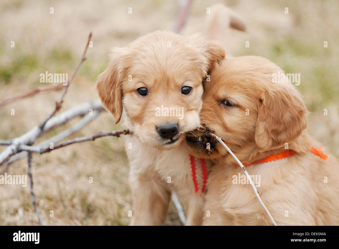 Golden Retriever Puppies Six Weeks Old Stock Photo 60653946 Alamy