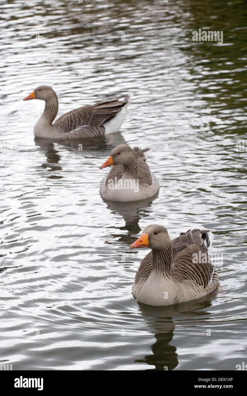 Western Greylag Geese (Anser anser anser). Coltishall Common, River Bure, Norfolk. - Stock Image