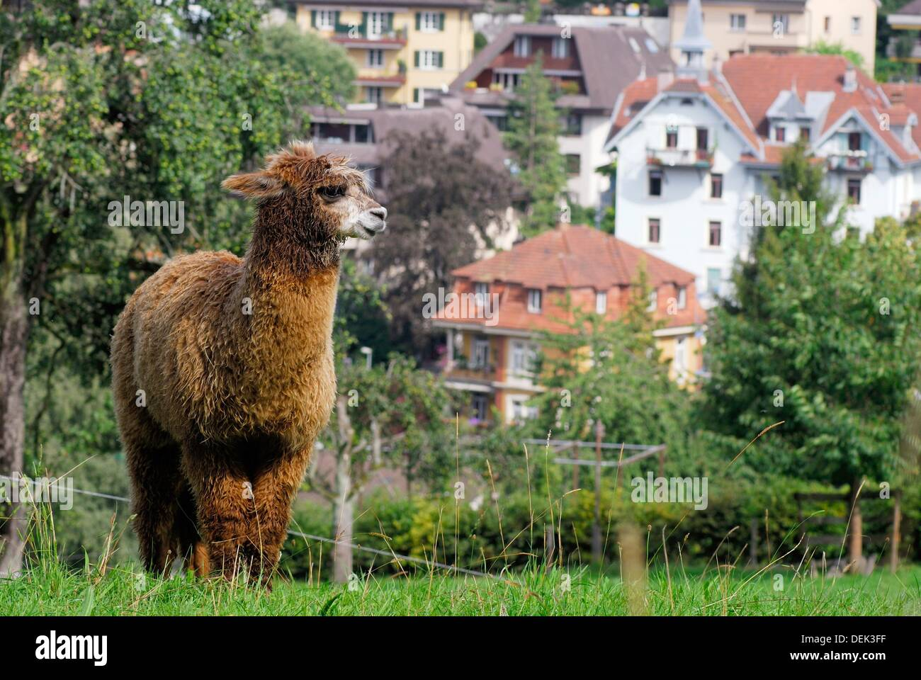 Domestic Alpaca in the periphery of Luzern, Switzerland - Stock Image
