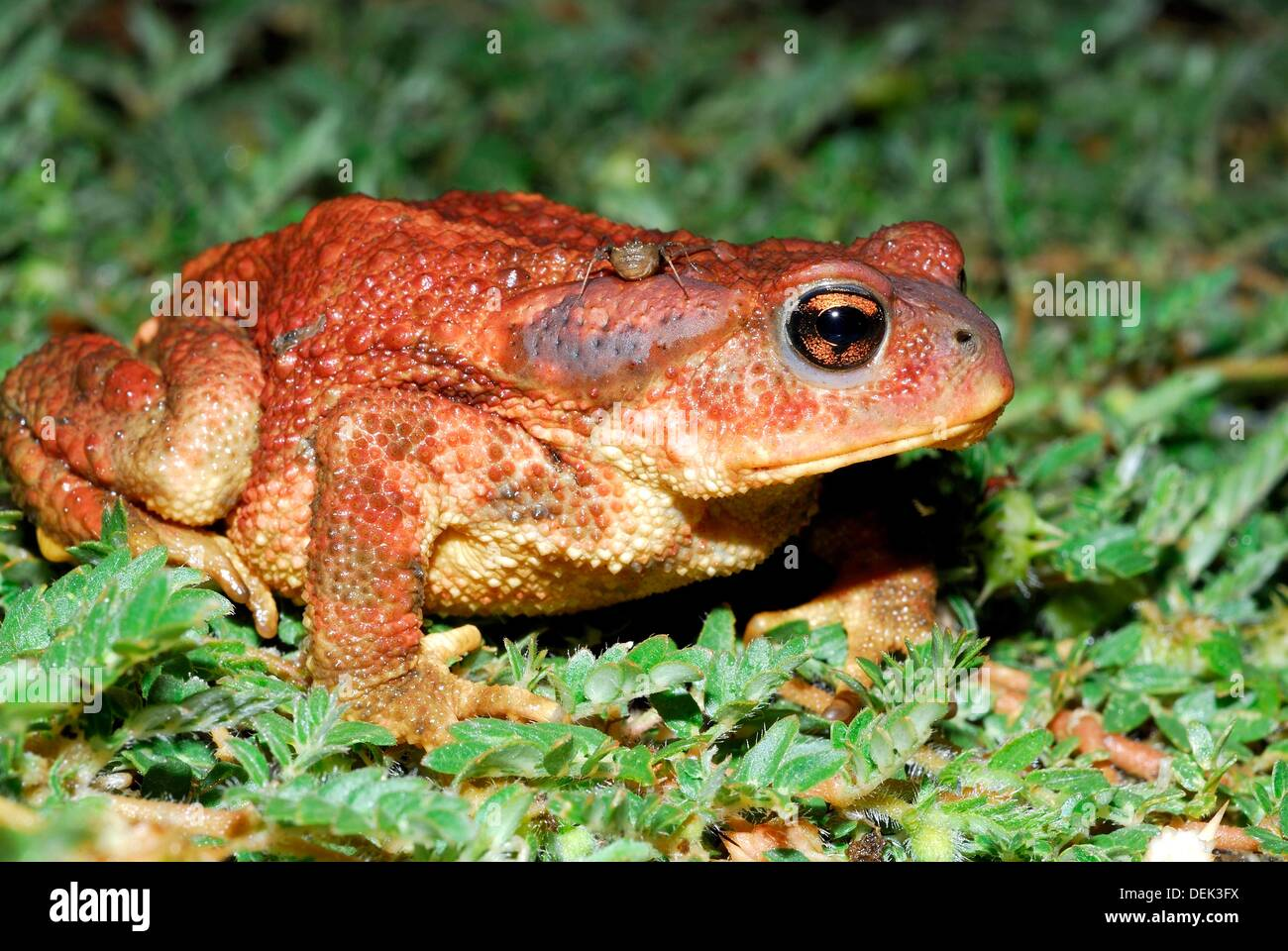Common toad Bufo bufo in Patones, Madrid, Spain Stock Photo