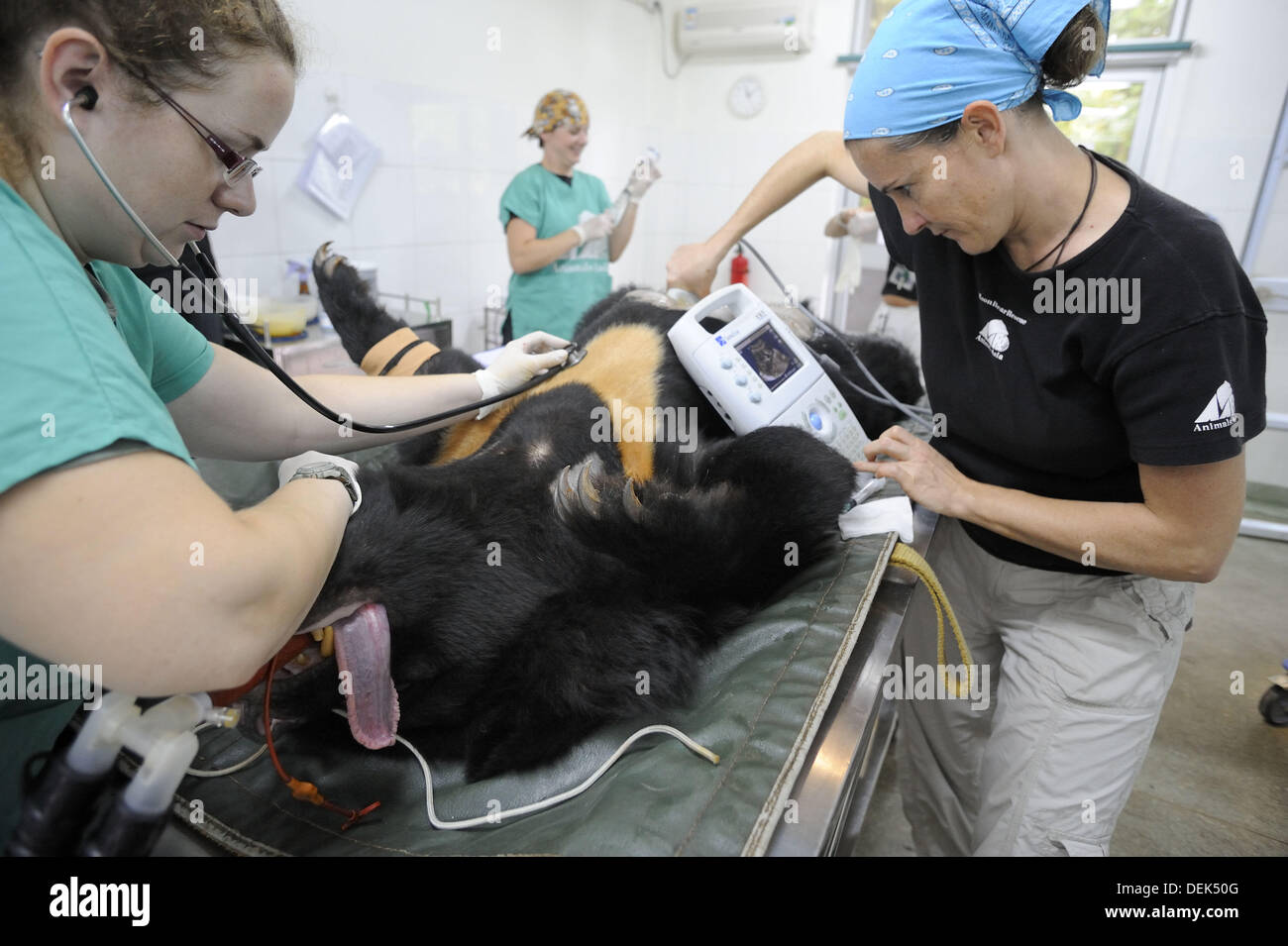 Surgery on Asiatic black bear (Ursus thibetanus) at the Chengdu rescue center of the Animal Asia Foundation, Sichuan, China - Stock Image