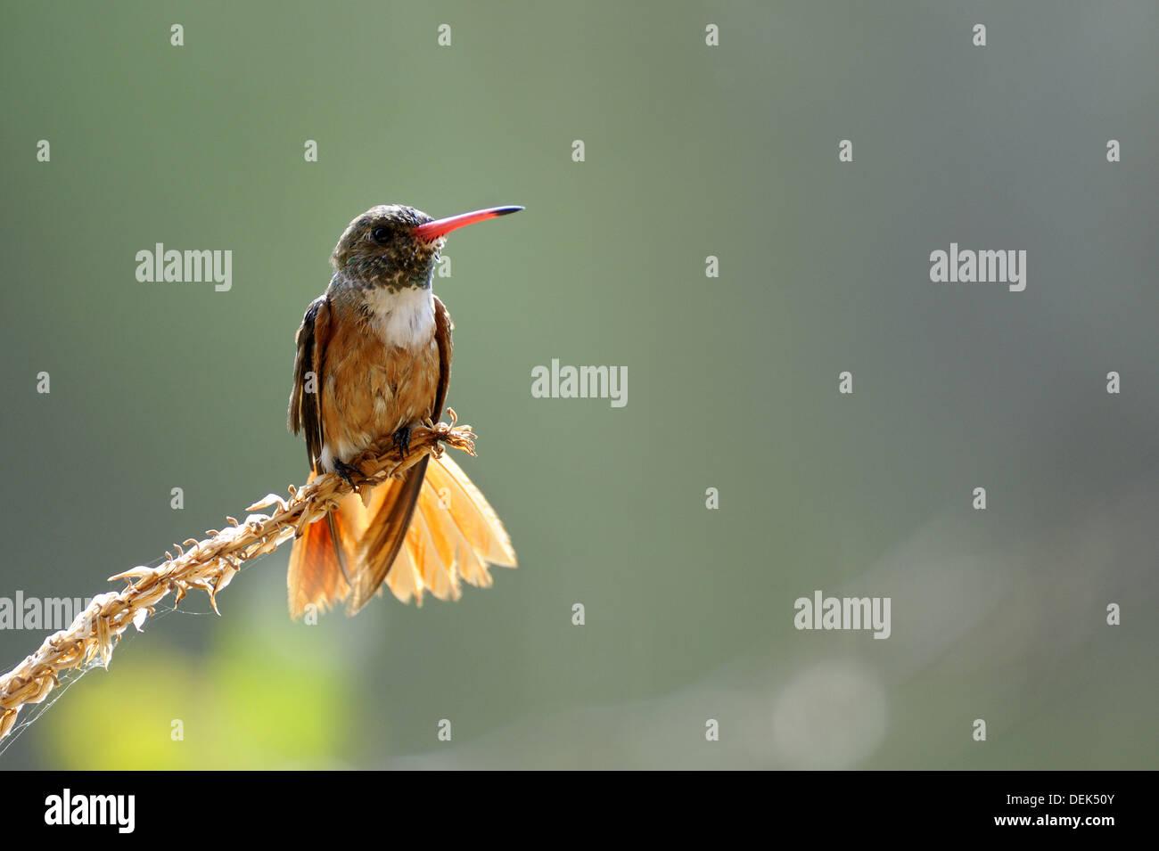 Amazilia hummingbird (Amazilia amazilia) Chaparri Ecological Reserve, Peru, South America Stock Photo