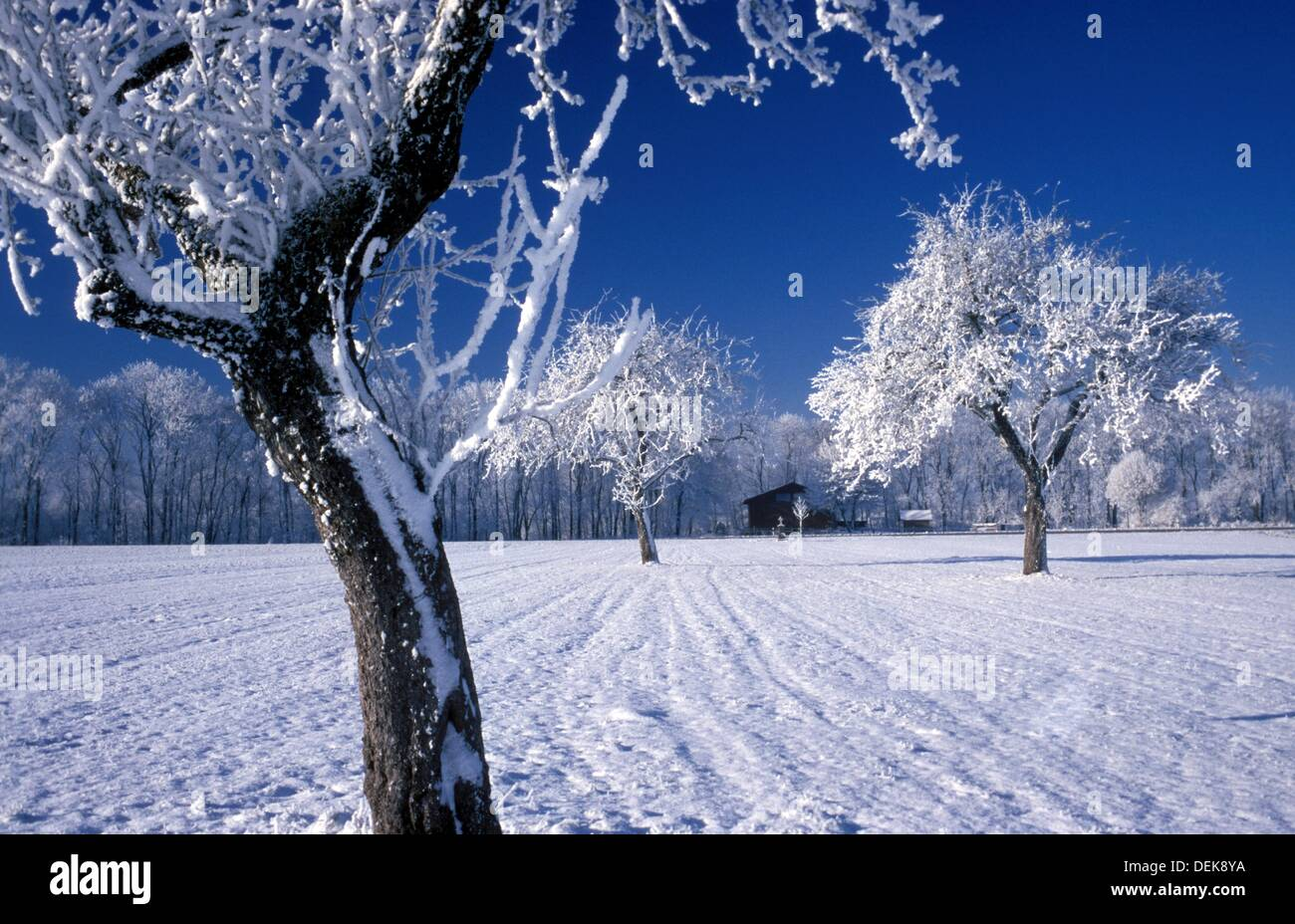 Snowed in apple trees on sunny winter morning - Stock Image