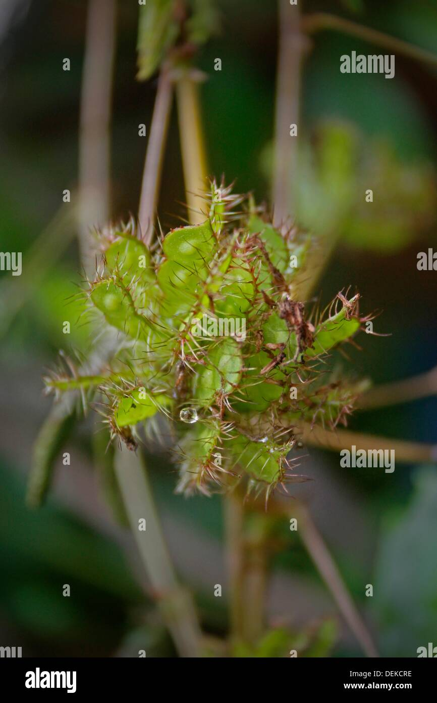 Seeds of Sensitive plant, Touch me not Mimosa pudica