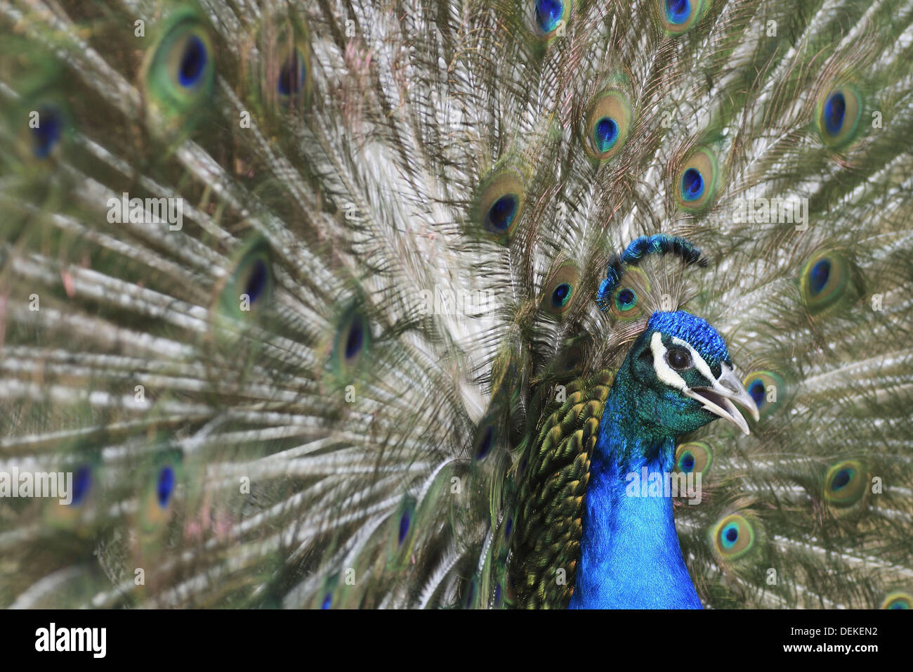 Close-up of a male Indian Peafowl´s plumage - Stock Image