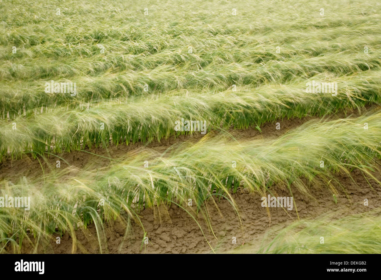Tall iris grass growing in crop field - Stock Image