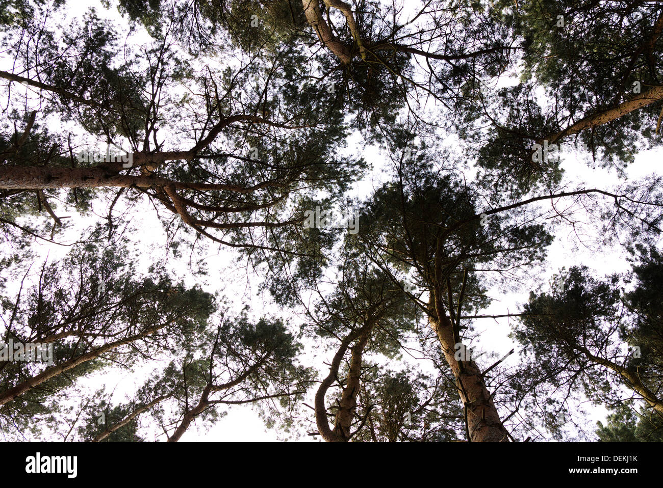 looking at the sky the conifers make a mottled pattern. Like camouflage - Stock Image