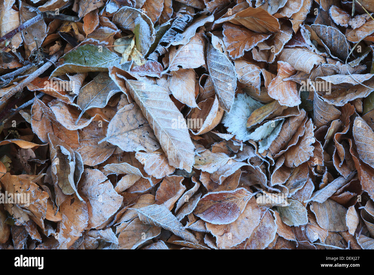 Frost on fallen European Beech leaves (Fagus sylvatica). Montseny Natural Park. Barcelona. Catalonia. Spain. Stock Photo