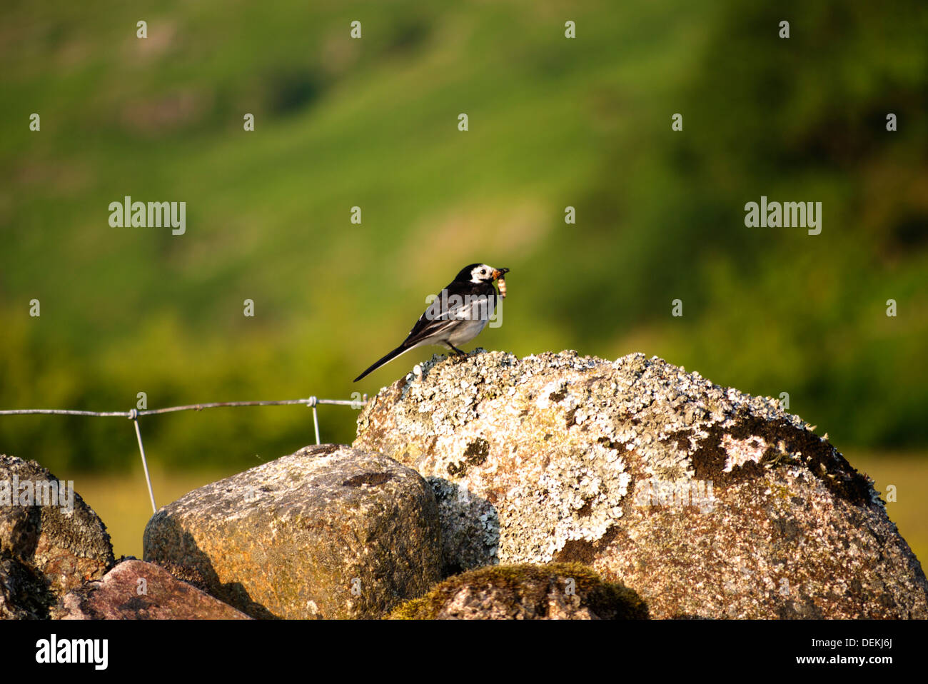 Pied Wage tail at rest on a dry stone wall, with a nice juicy grub for its young. - Stock Image