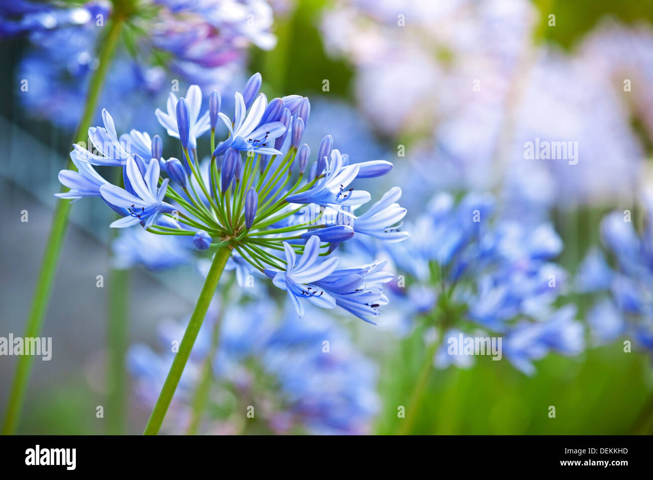 Macro photo of bright blue Agapanthus flowers in the garden - Stock Image