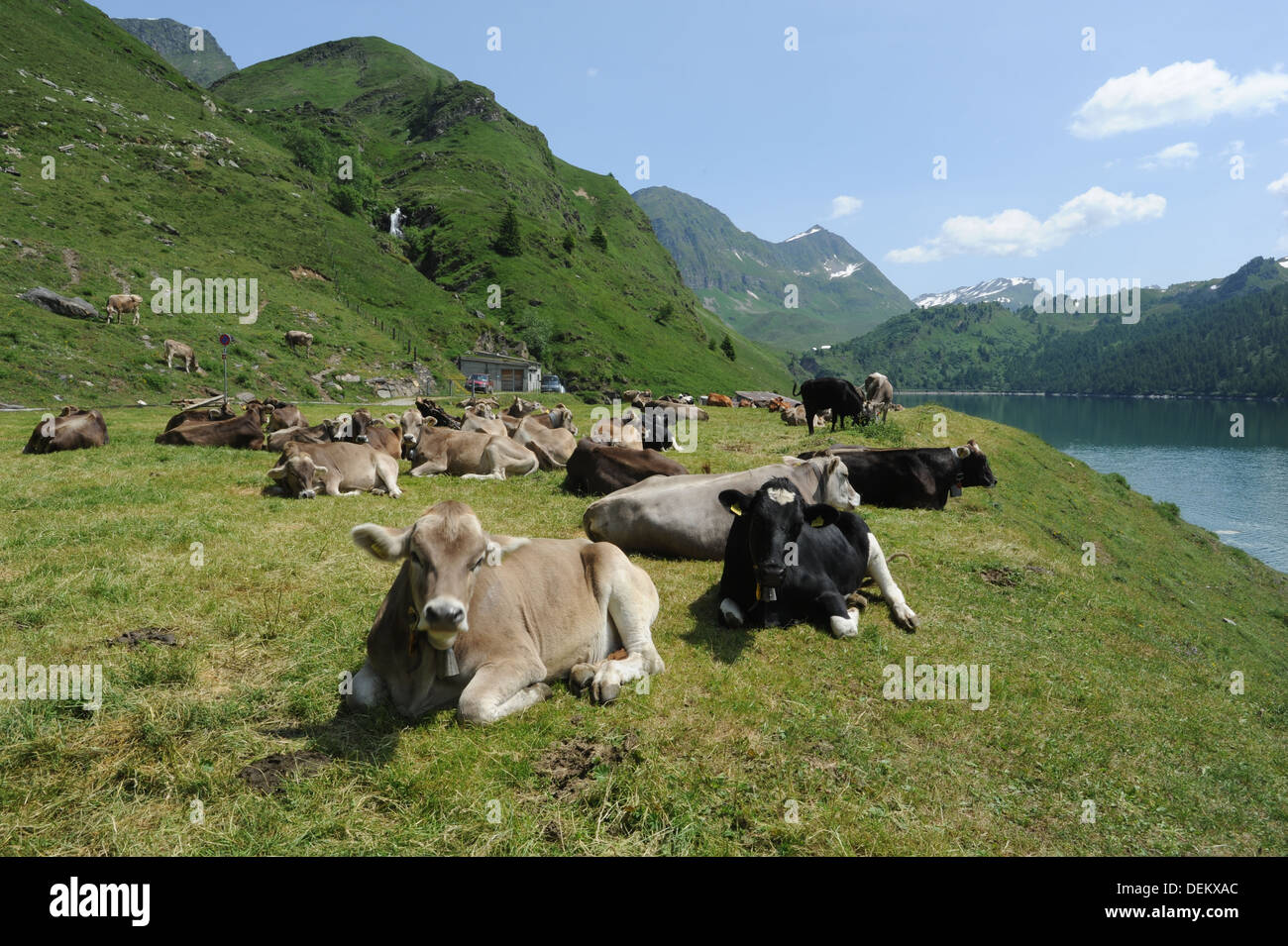 Cows near lake Ritom at Piora on the swiss alps Stock Photo