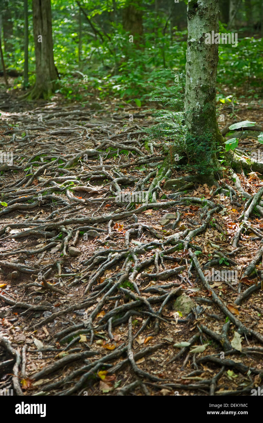 Woodstock, New York - Tree roots on a hiking trail in the Catskill Mountains. - Stock Image