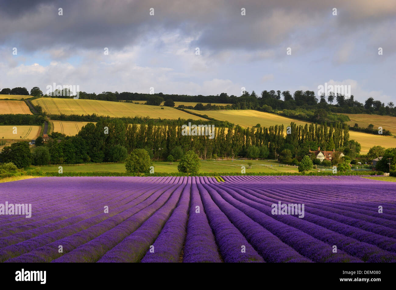 lavender field kent england uk flowers flora landscape beauty agriculture f crop ecologically friendly eco insect friendly - Stock Image