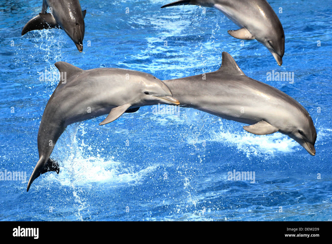 Bottlenose dolphin doing a somersault  at the Oceanografic Aquarium Marine Park & Zoo in Valencia, Spain Stock Photo