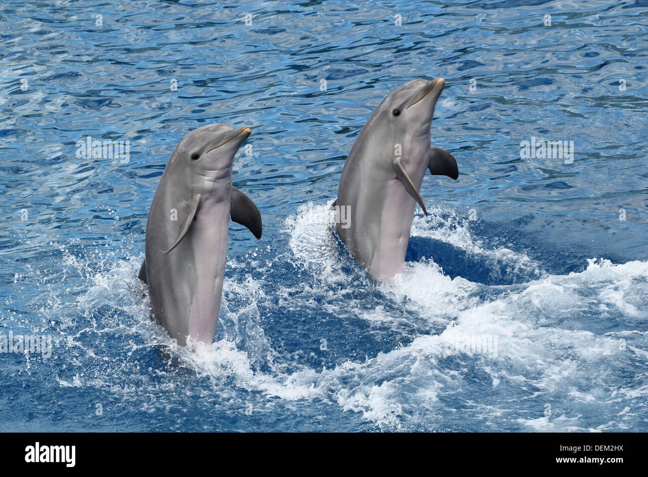 Bottle-nose dolphins moving backwards, supported by their tail at the Oceanografic Aquarium Marine Park & Zoo in Valencia, Spain - Stock Image