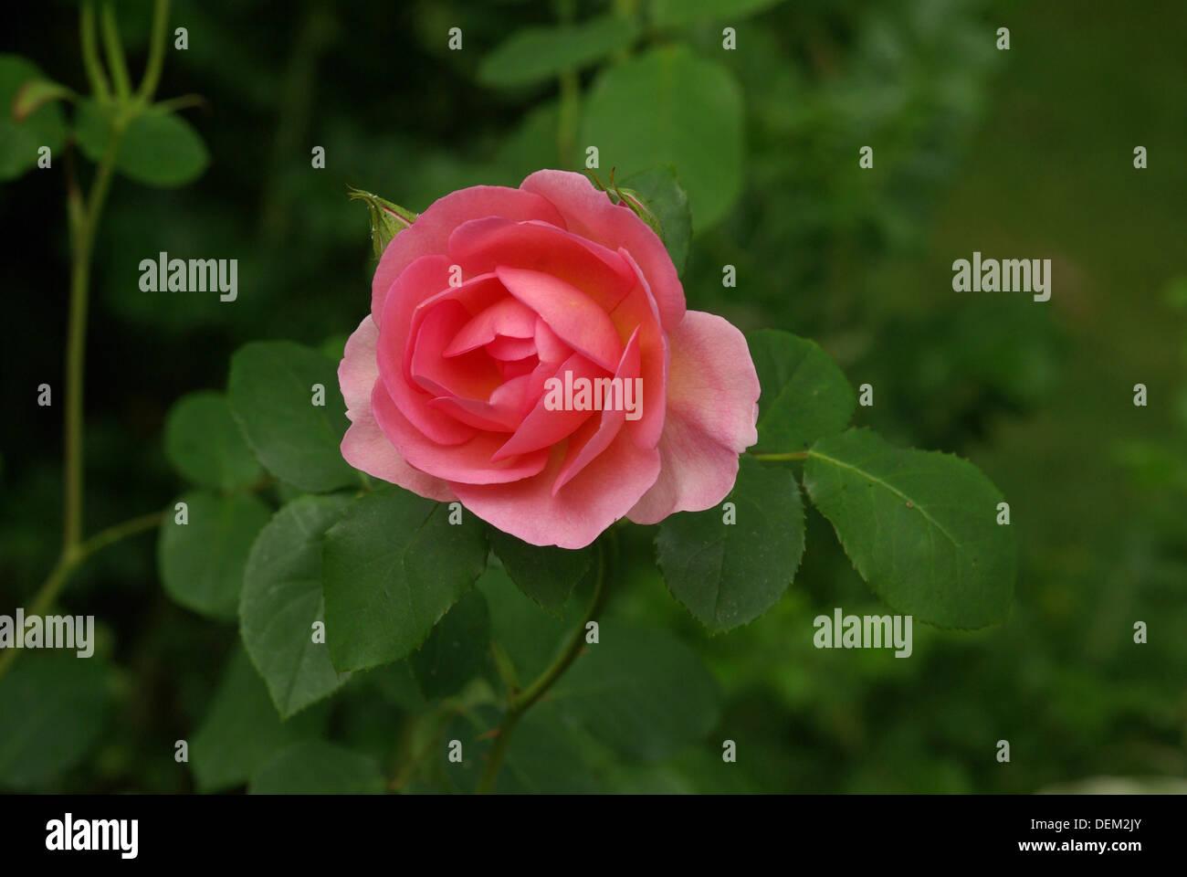 Rosa shrub  -  HERO - Stock Image