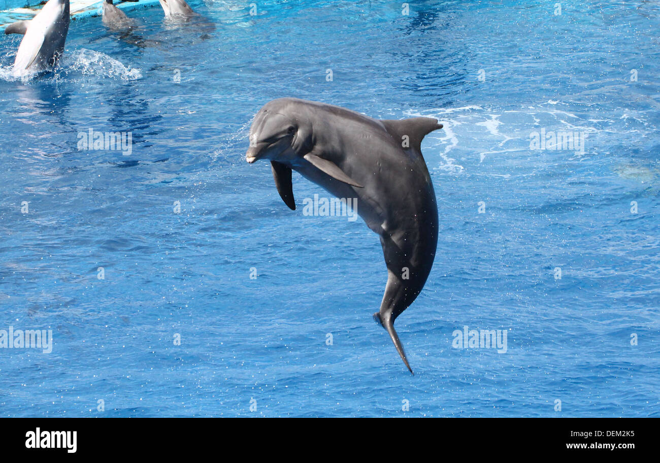 Bottle-nose dolphin doing somersaults  at the Oceanografic Aquarium Marine Park & Zoo in Valencia, Spain Stock Photo