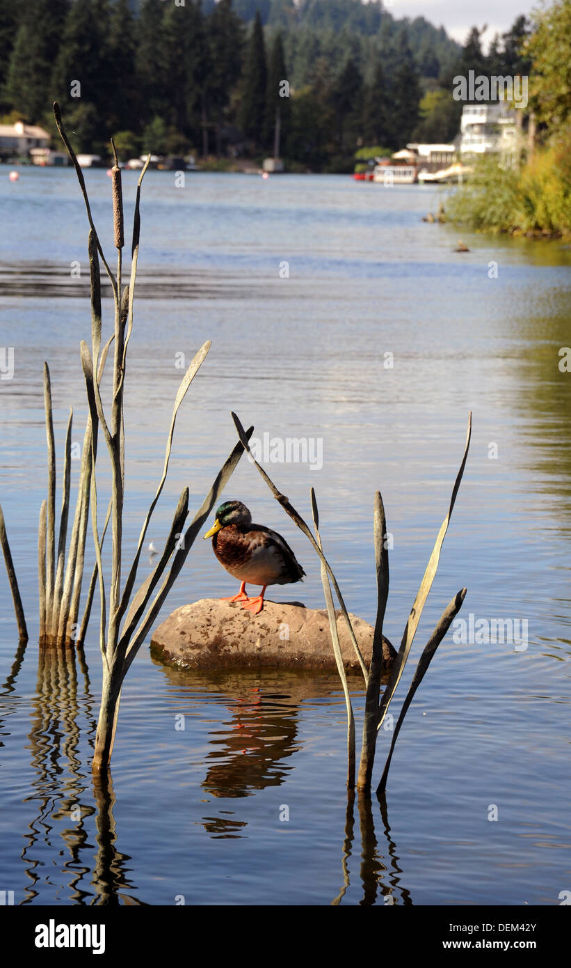 A mallard duck sits on rock in 'Duck Pond,' Lakewood Bay of Lake Oswego Oregon, - Stock Image