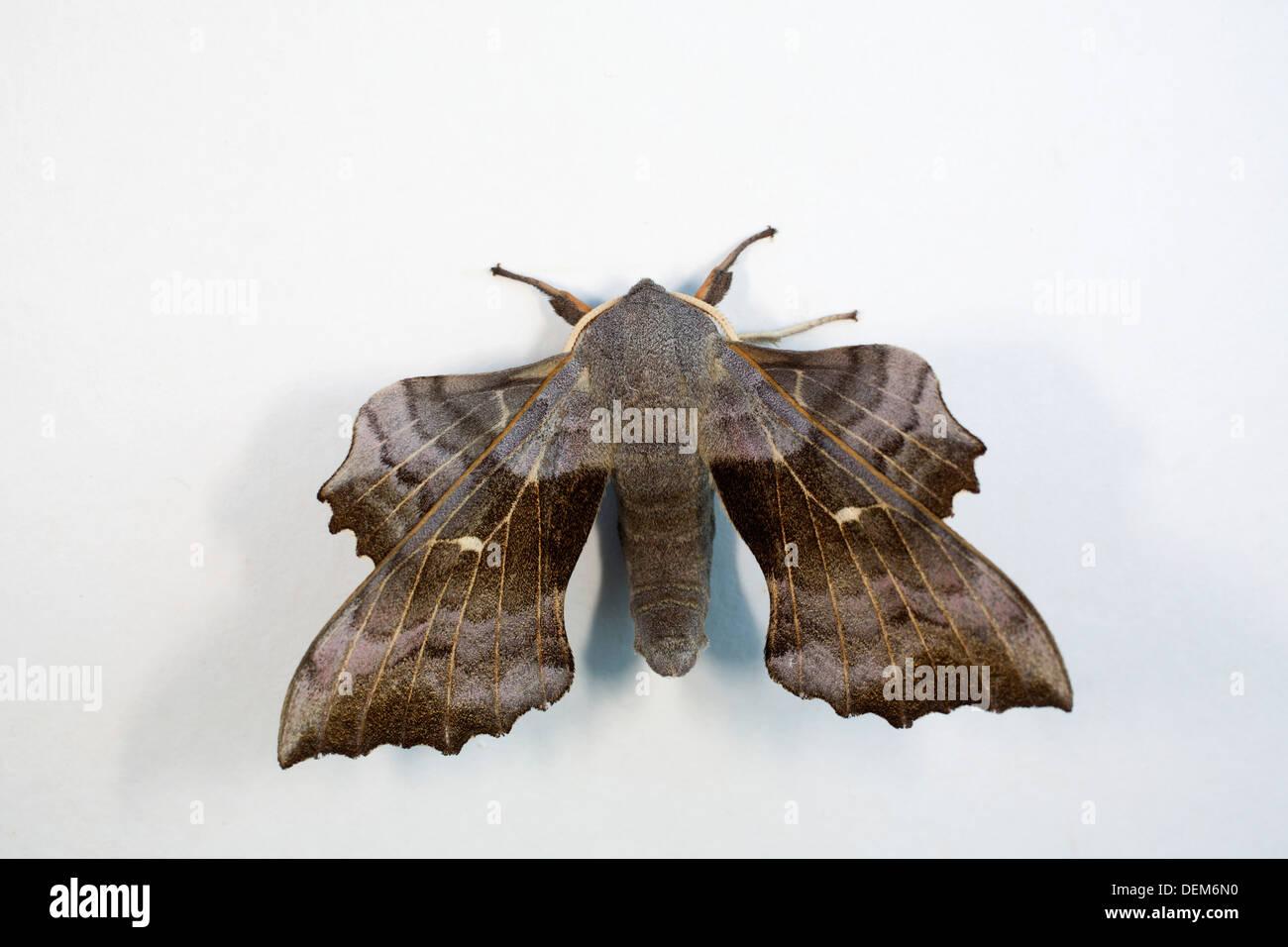 Poplar Hawkmoth; Laothoe populi; UK - Stock Image