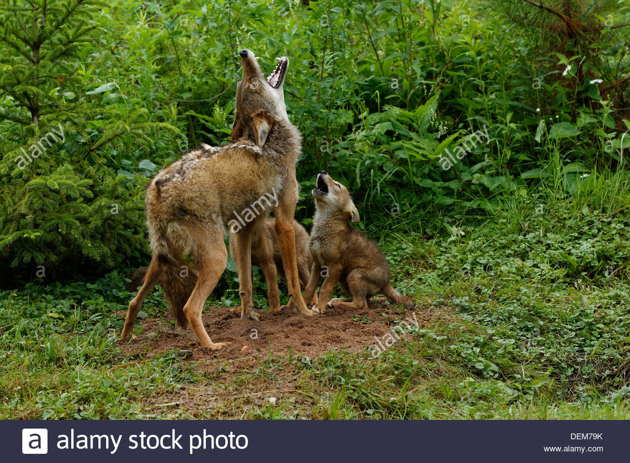 Coyote(Canis latrans) Mother and pups howling next to the den, Captive Animal. - Stock Image