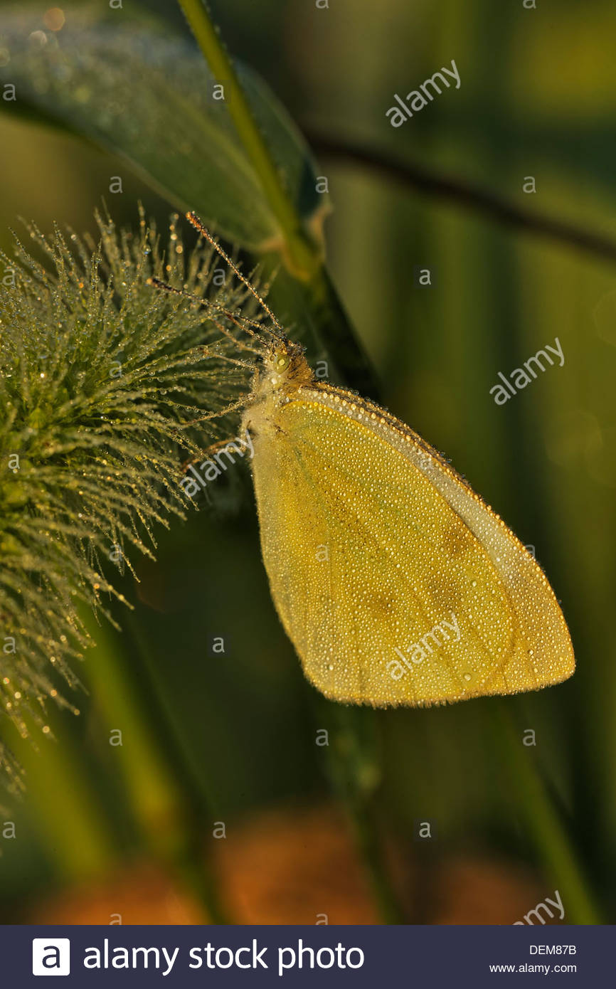 Cloudless Sulphur Butterfly (Phoebis sennae) covered in dew - Stock Image