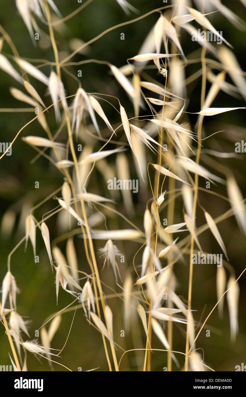 Avena fatua, wild Oat, species of grass in the Oat genus. Torrelles de Llobregat, Barcelona, Catalonia, Spain Stock Photo