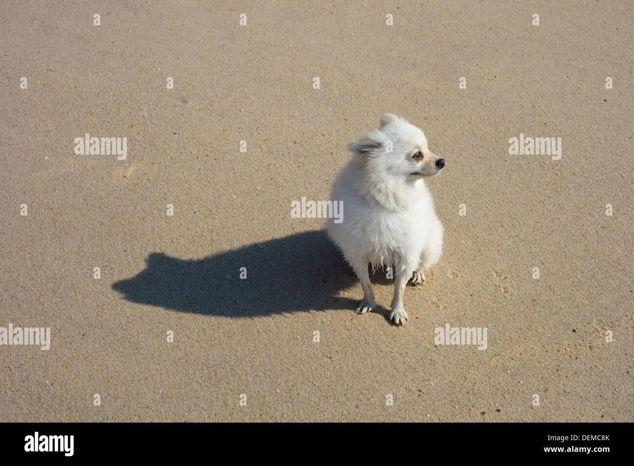 Small White Pomeranian Dog At The Beach Stock Photo 60684979 Alamy