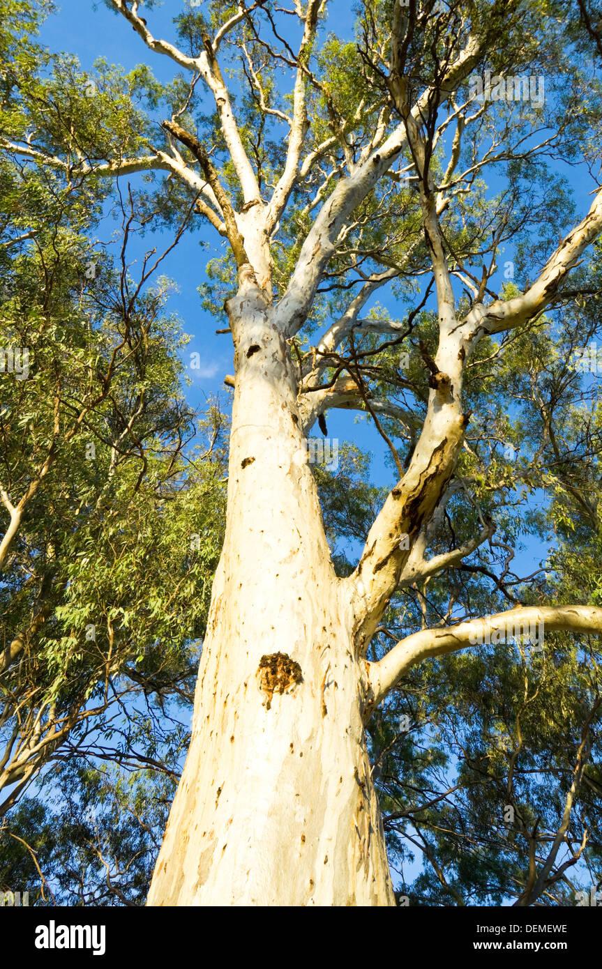 Eucalyptus Tree, New South Wales, Australia - Stock Image